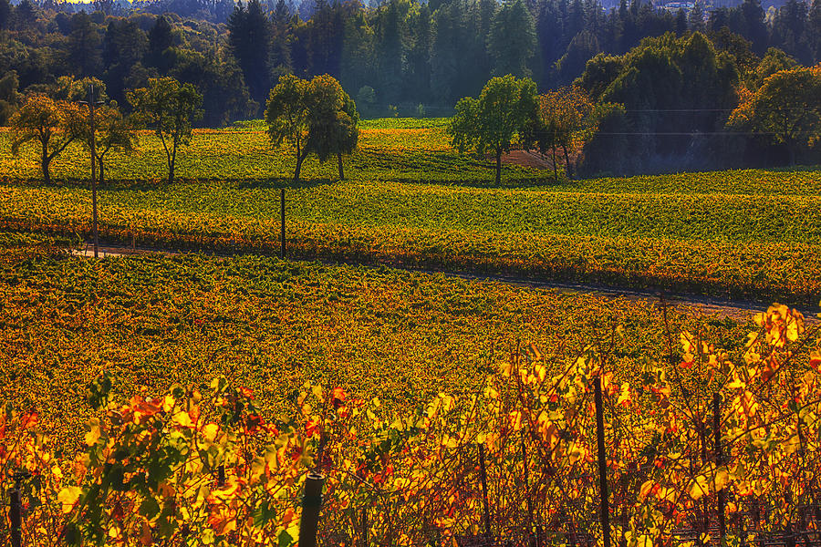 Autumn Photograph - Autumn Vineyards by Garry Gay