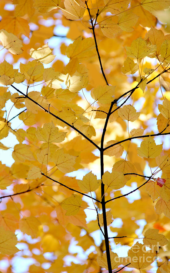Autumns Golden Leaves Photograph  - Autumns Golden Leaves Fine Art Print