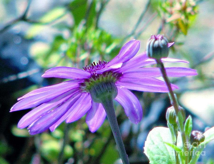 Avatars Pericallis Photograph  - Avatars Pericallis Fine Art Print