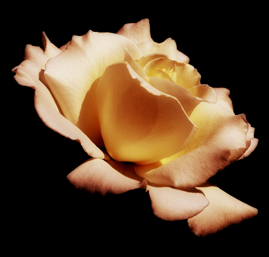 Rose Photograph - Awakening by Kim Hojnacki