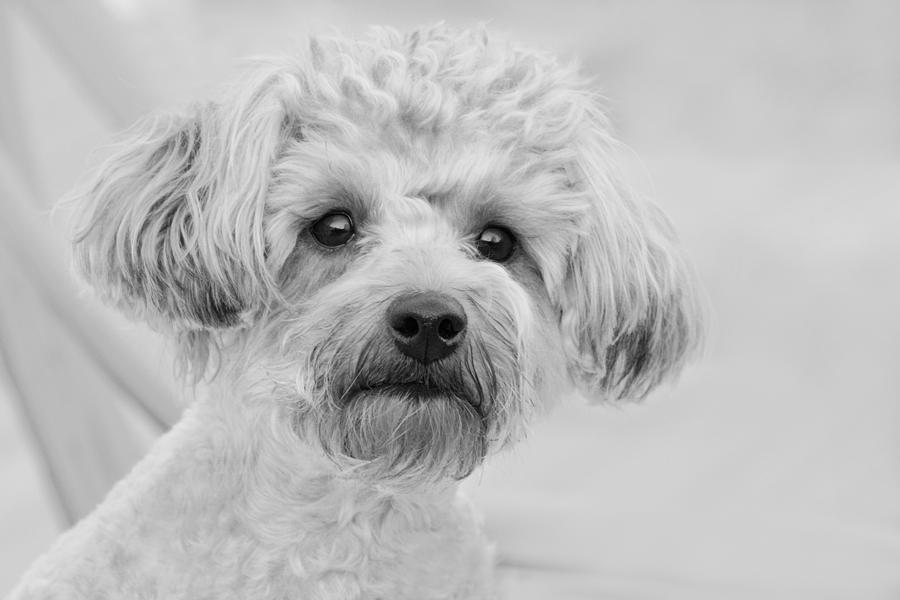 Awesome Abby The Yorkie-poo Photograph
