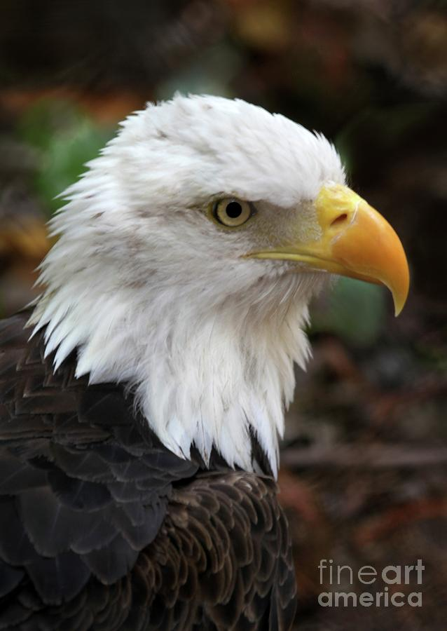 Awesome American Bald Eagle Photograph  - Awesome American Bald Eagle Fine Art Print