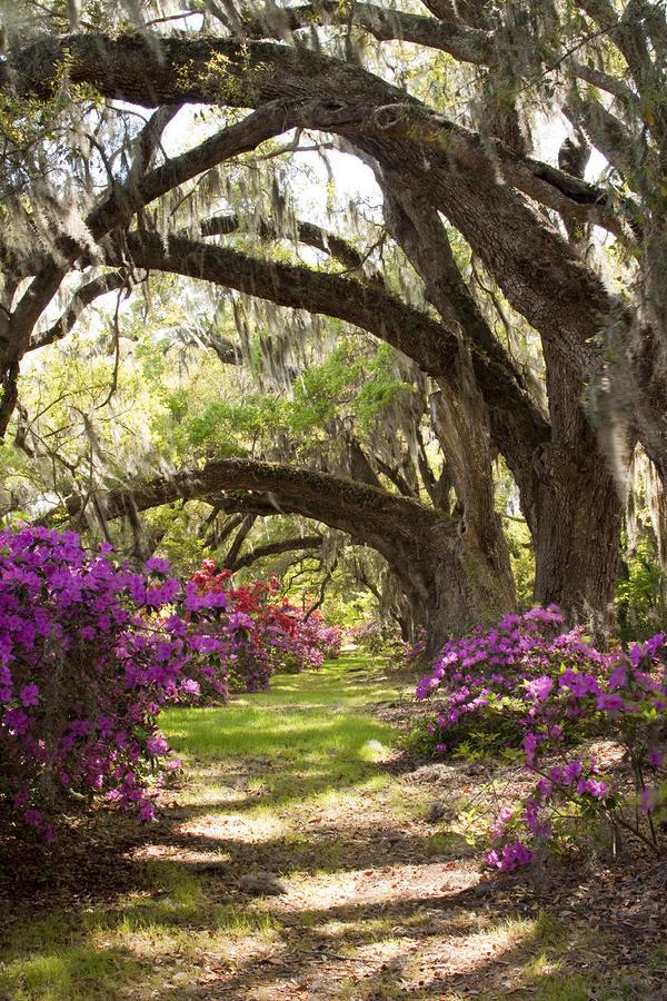 Azaleas And Live Oaks At Magnolia Plantation Gardens By Dustin K Ryan