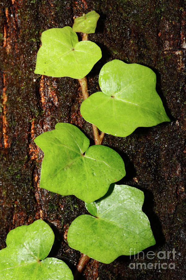 Azores Endemic Hedera Photograph