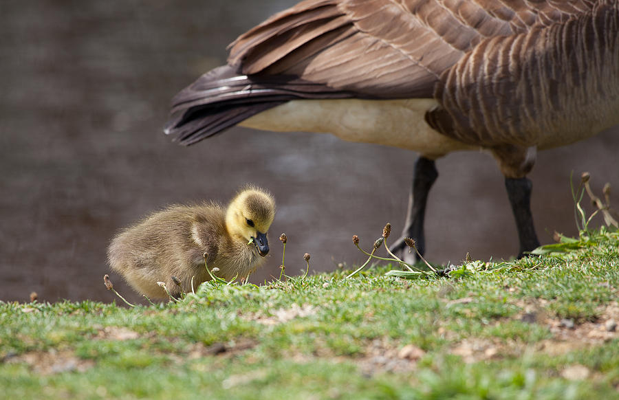 Geese Photograph - Baby Back by Karol Livote