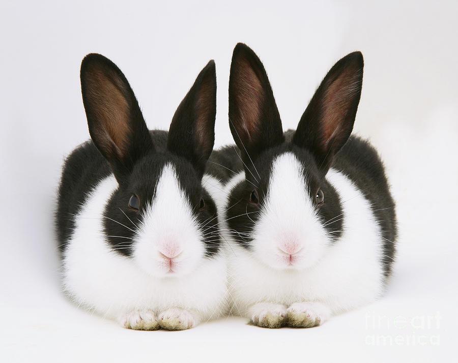 ClarkBunny: Razas de conejos: Dutch/Holandés