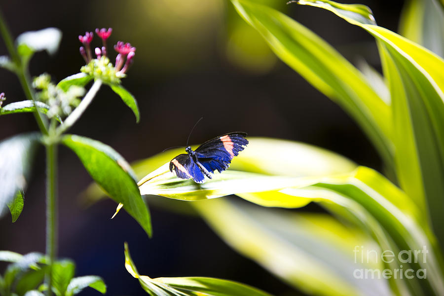 Butterfly Photograph - Baby Blue by Leslie Leda
