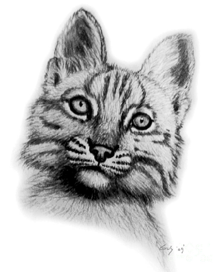 Baby Bobcat Drawing  - Baby Bobcat Fine Art Print