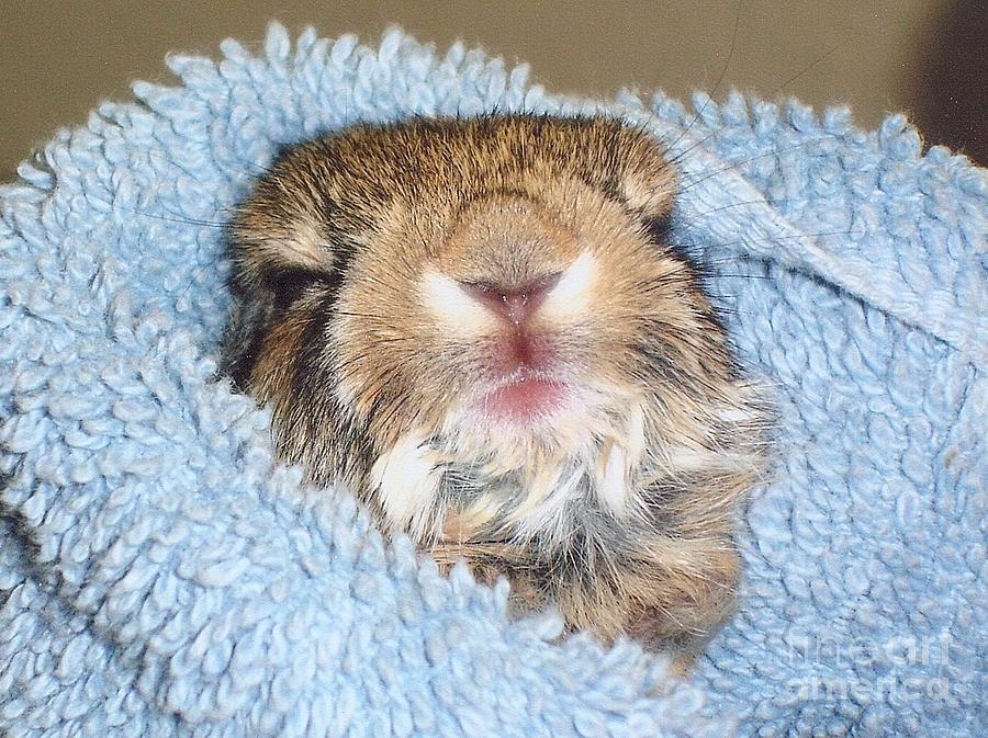 Bunny Rabbit Photograph - Baby Bunny Rabbit by Marilyn Magee