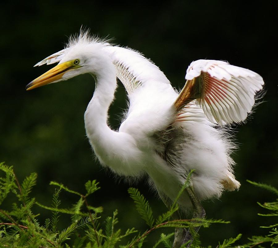 Great White Egret Photograph - Baby Egret Wings by Paulette Thomas