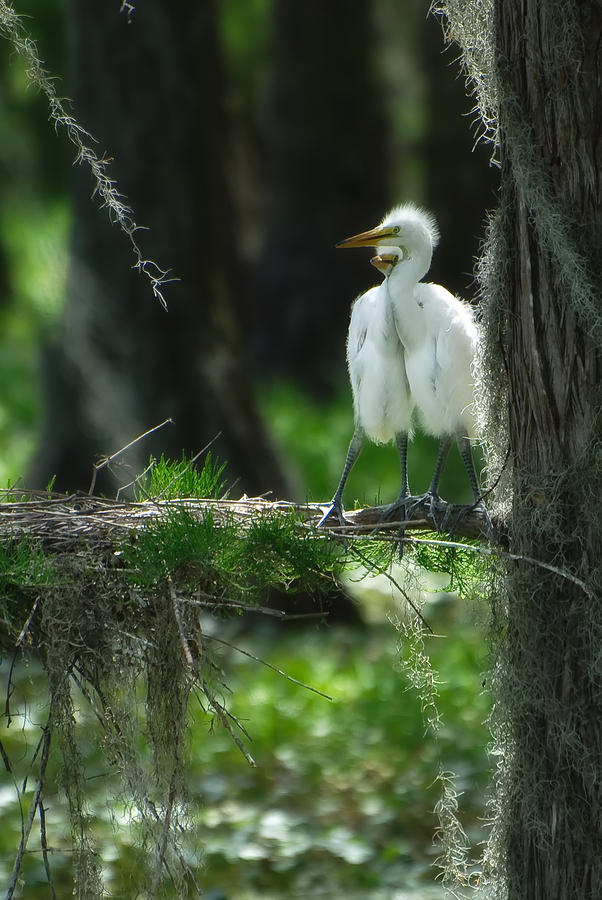 Baby Great Egrets With Nest Photograph  - Baby Great Egrets With Nest Fine Art Print