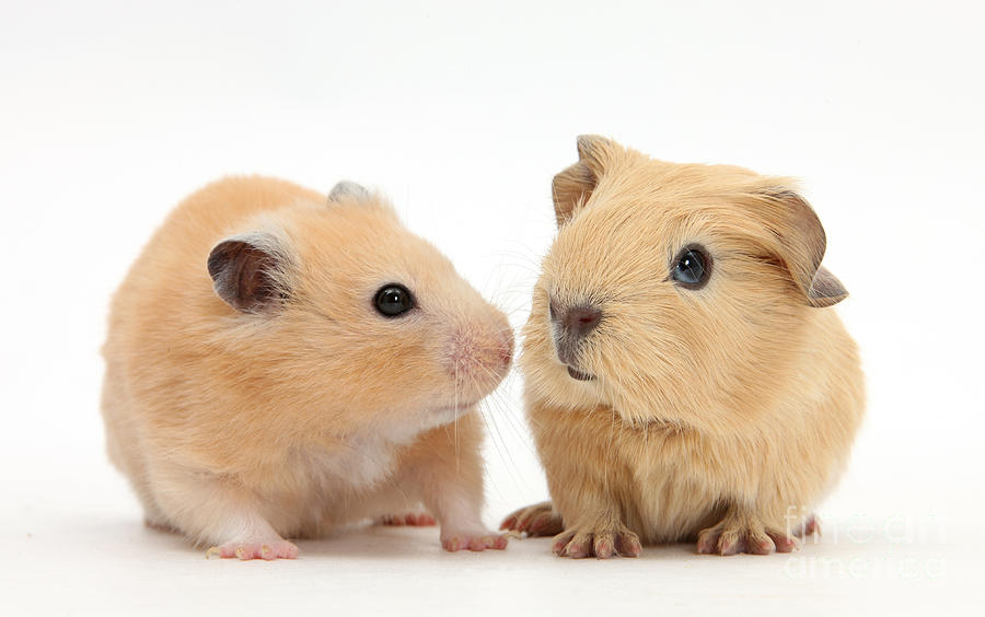 Baby Guinea Pig And Golden Hamster Photograph  - Baby Guinea Pig And Golden Hamster Fine Art Print