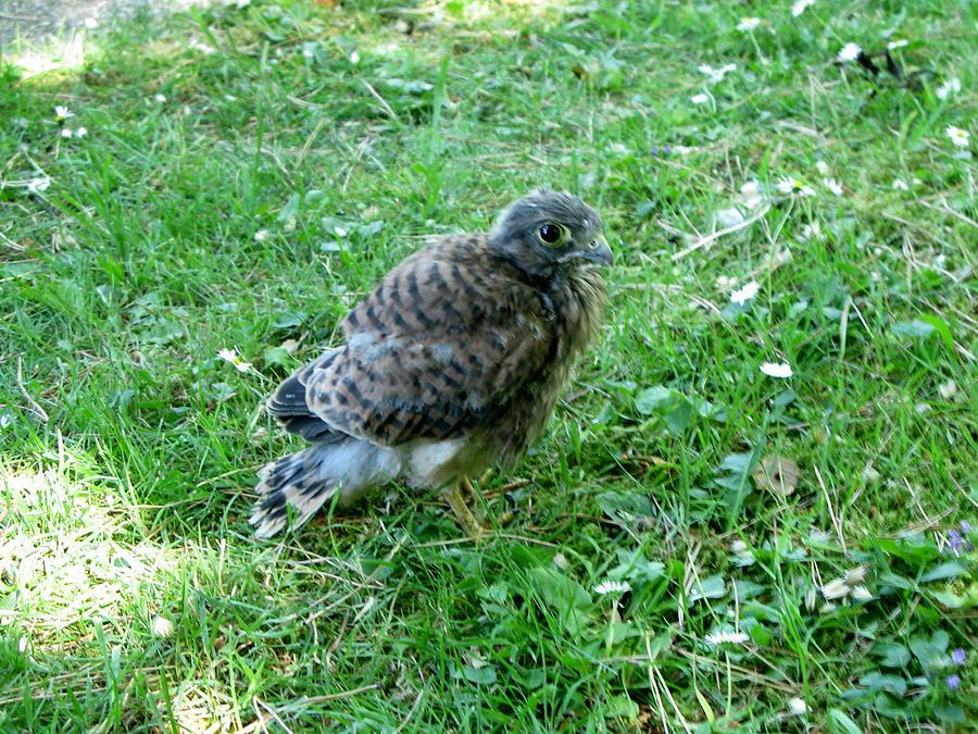 Baby hawk bird - photo#11