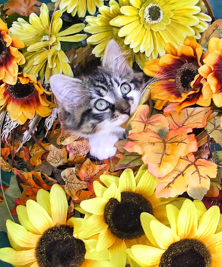 Baby Kitty Cat Munching Fall Leaves - Cute Kitten In Autumn Colors With Sunflowers - Fall Time Photograph