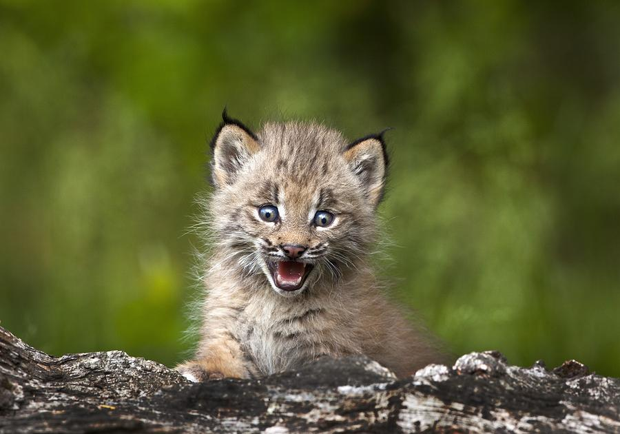 Baby Lynx Photograph By Richard Wear