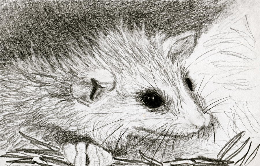 Baby Opossum Drawing