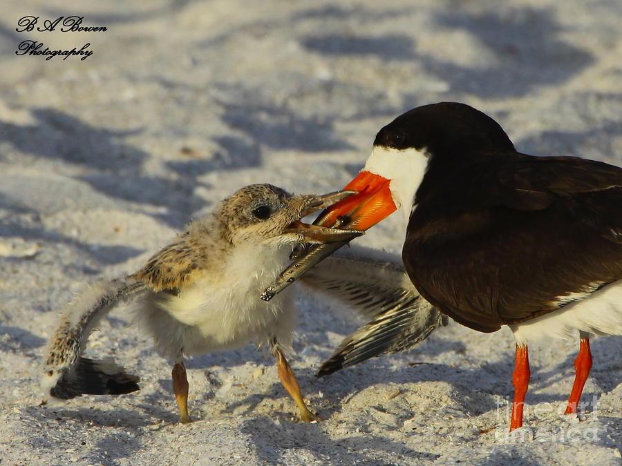Baby Skimmer Feeding Photograph