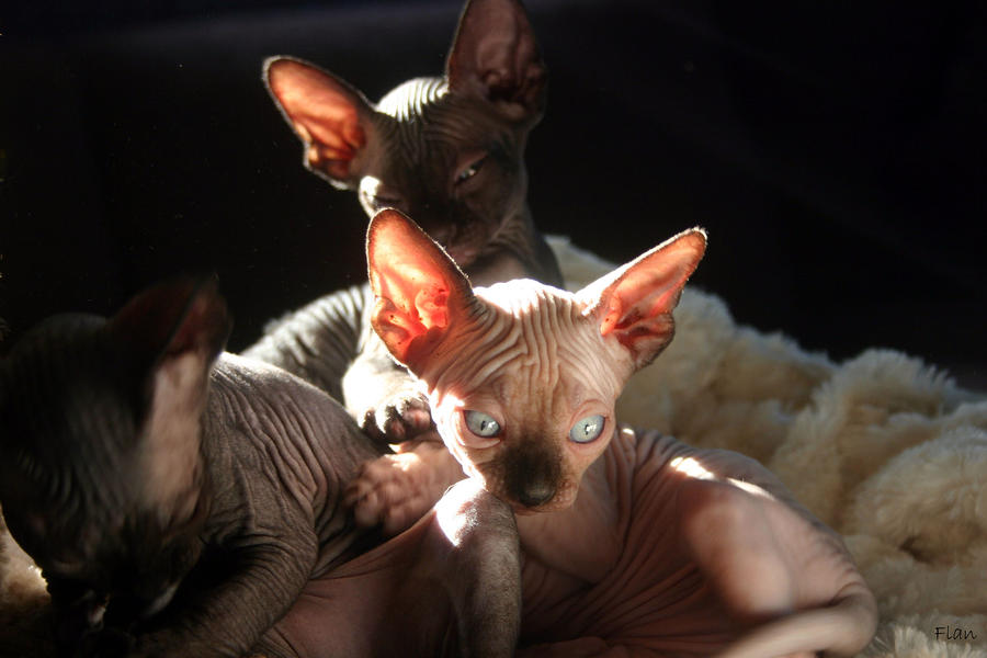 Baby Sphynx Cats Photograph