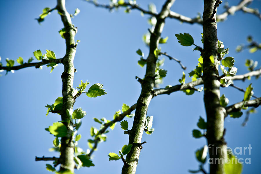 Baby Spring Tree Leaves 01 Photograph  - Baby Spring Tree Leaves 01 Fine Art Print