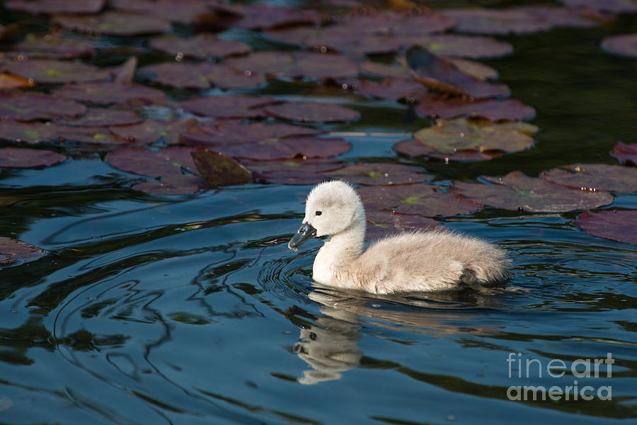 Swan Photograph - Baby Swan by Andrew  Michael