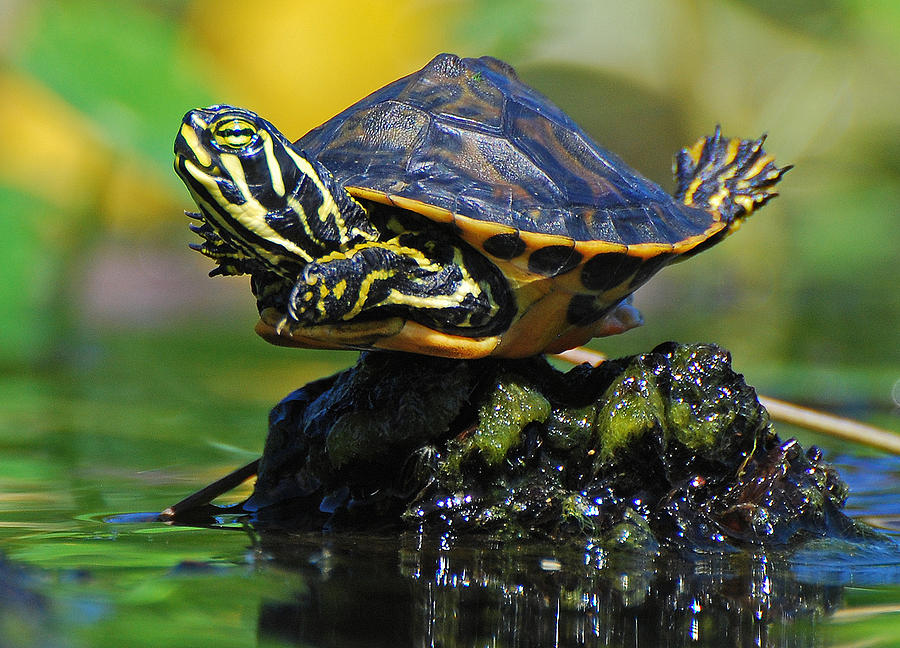 Baby Turtle Planking Photograph