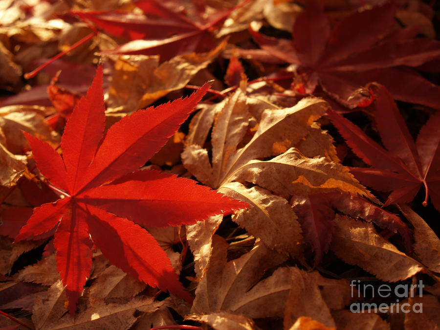 Back-lit Japanese Maple Leaf On Dried Leaves Photograph  - Back-lit Japanese Maple Leaf On Dried Leaves Fine Art Print
