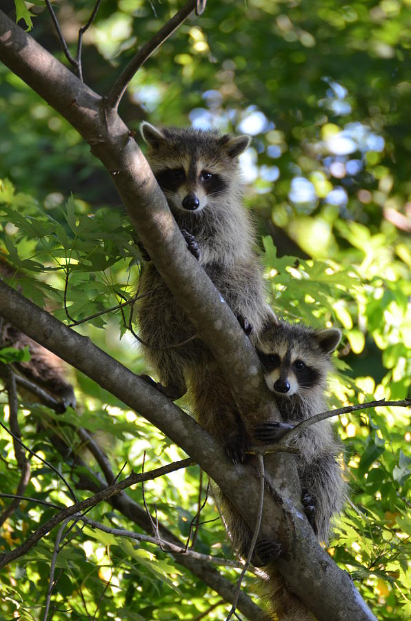 back yard baby raccoons by mike george