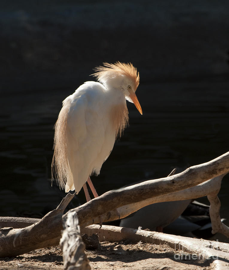 Backlit Egret Photograph  - Backlit Egret Fine Art Print