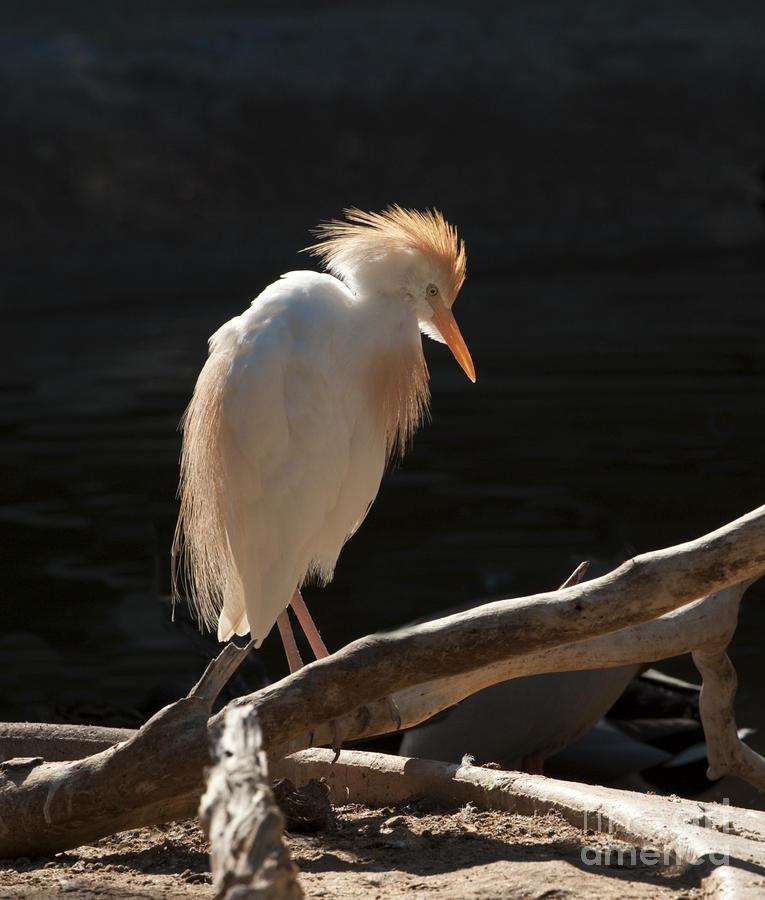 Backlit Egret Photograph