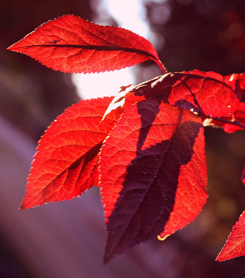 Backlit Red Leaves Photograph