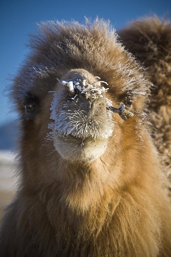 Animals Photograph - Bactrian Camel Camelus Bactrianus by David DuChemin