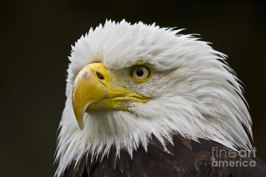 Bald Eagle - 6 Photograph  - Bald Eagle - 6 Fine Art Print