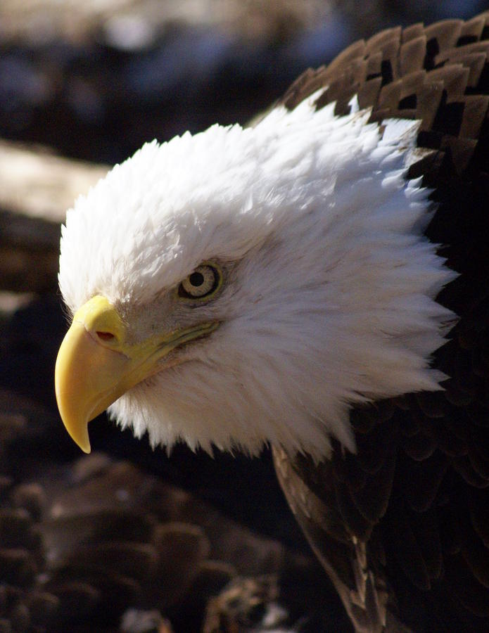Bald Eagle 2 Photograph