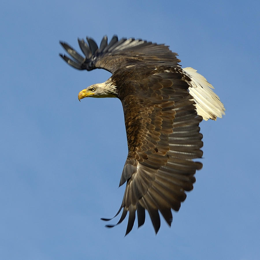 Bald eagles in flight - photo#24
