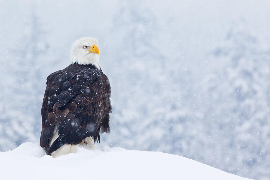 Bald Eagle In The Snow Photograph  - Bald Eagle In The Snow Fine Art Print