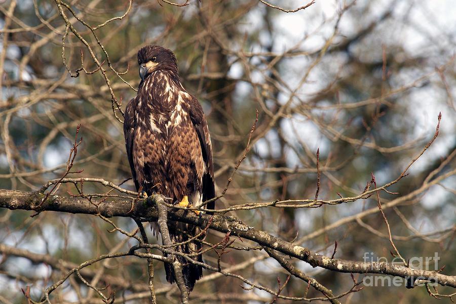 Bald Eagle Juvenile 2 Photograph