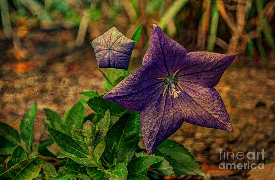 Balloon Flower - Antiqued Photograph