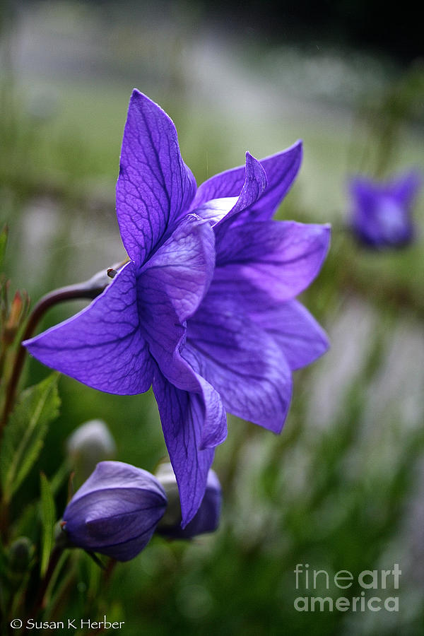 Floral Photograph - Balloon Flower Profile by Susan Herber