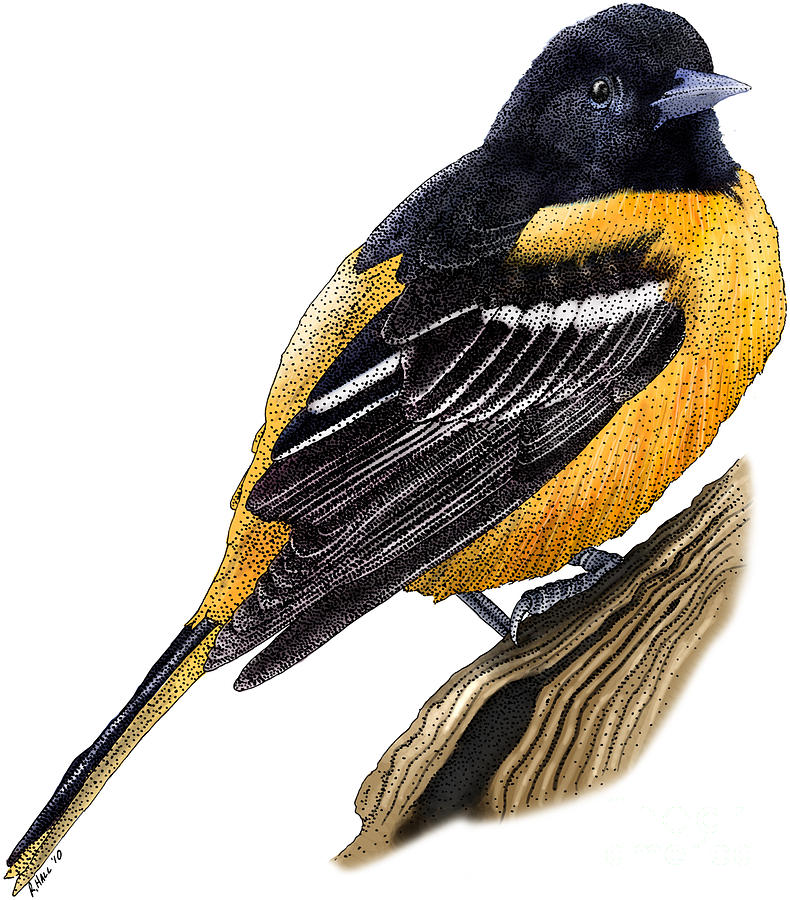 Baltimore Oriole Drawing