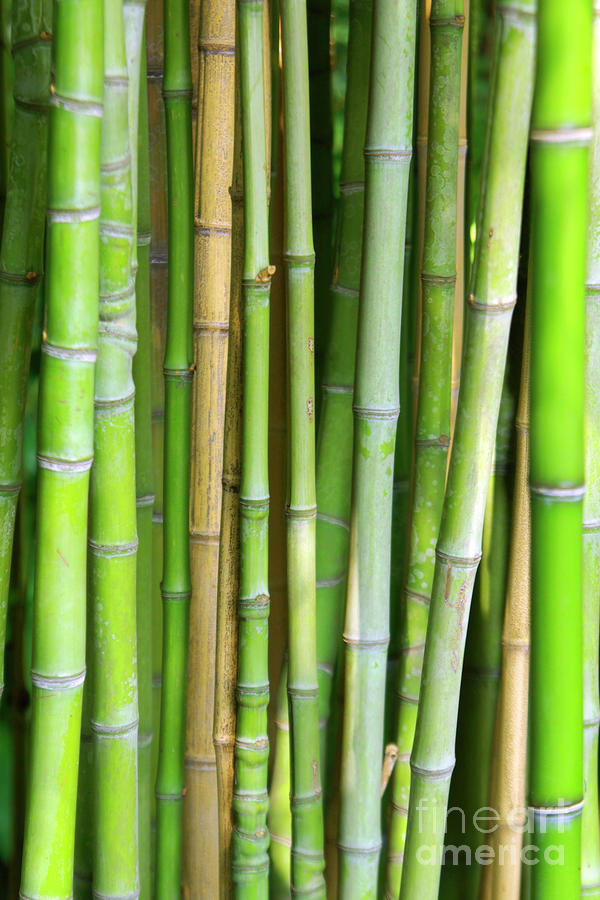 Bamboo Background Photograph  - Bamboo Background Fine Art Print