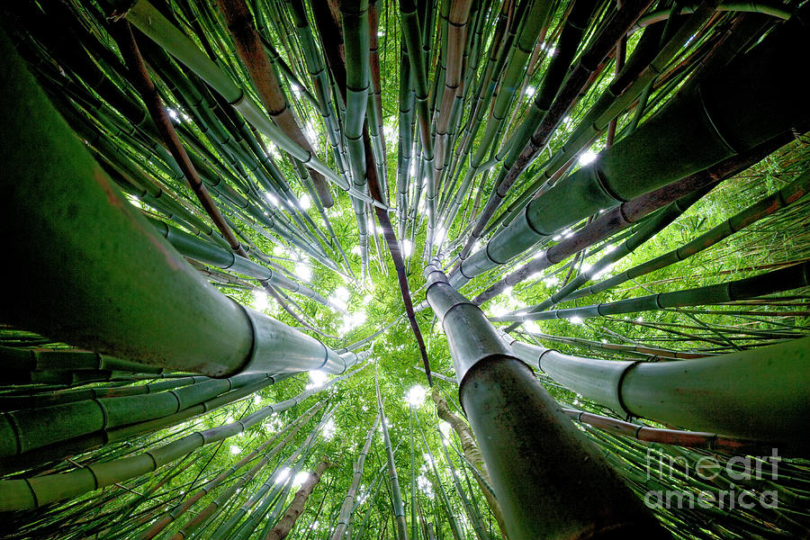 Bamboo Forest Maui  Photograph
