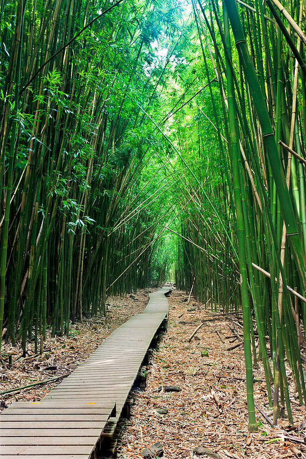 Bamboo Forest Path Photograph