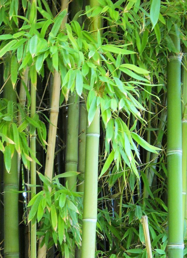 Bamboo Garden Photograph By Lynnette Johns