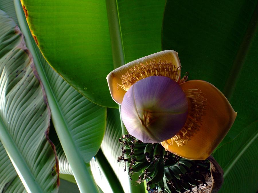 Banana Bloom Photograph