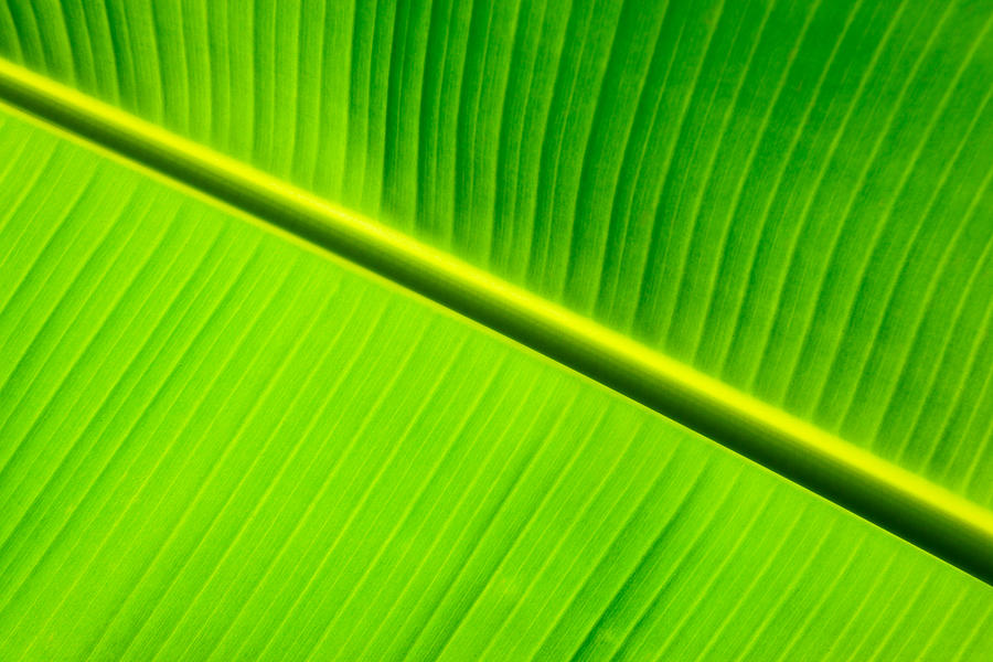 Banana Leaf  Photograph