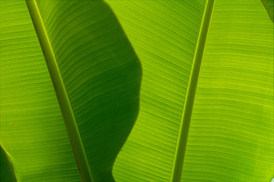 Banana Leaves Photograph  - Banana Leaves Fine Art Print