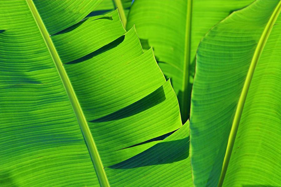 Single banana leaf