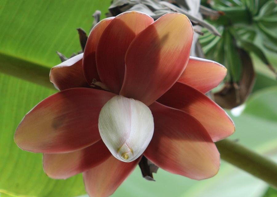 Banana Tree Blossom Photograph