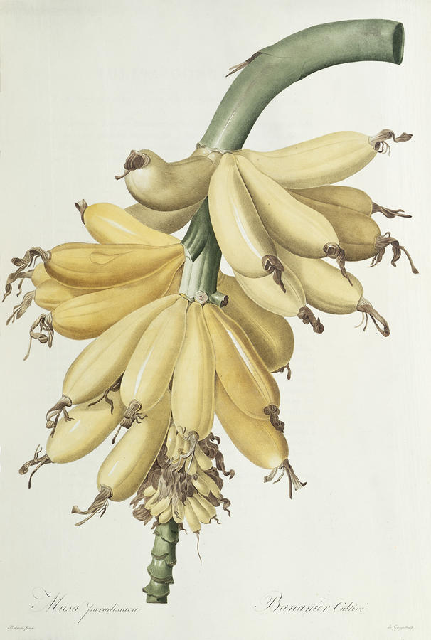 Bananas Drawing  - Bananas Fine Art Print