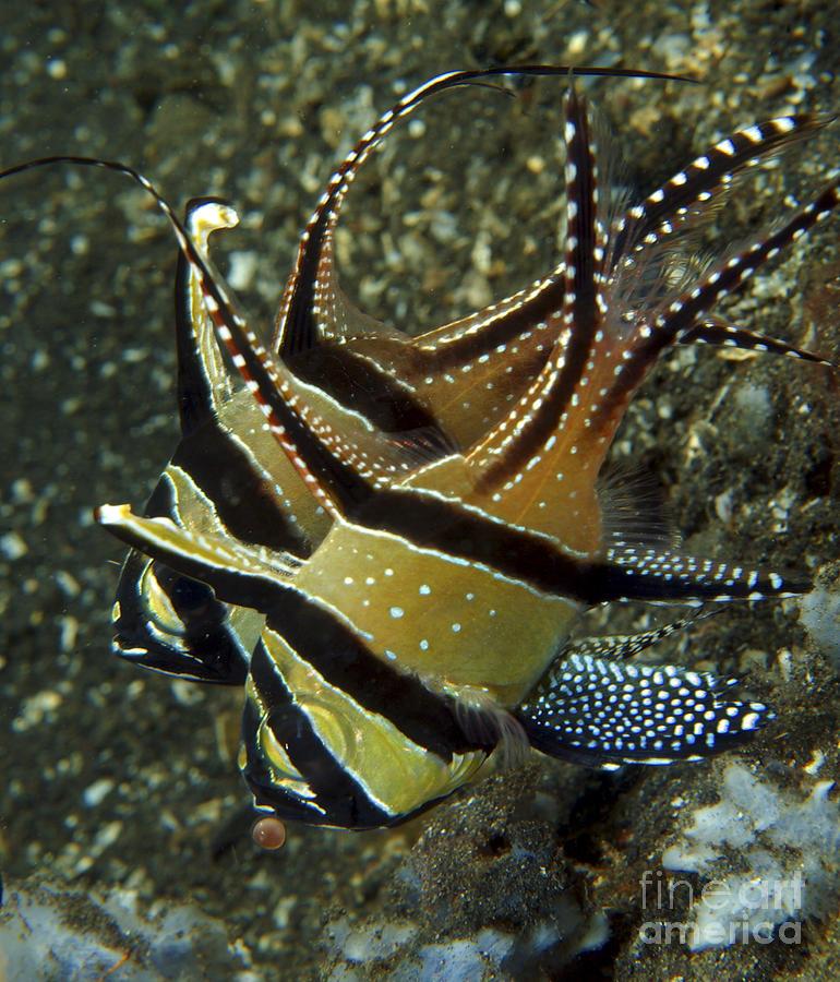banggai cardinalfish - photo #26